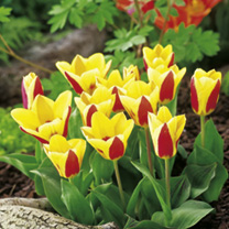 Forget-Me-Not Plants/Tulip Bulbs - Twin Pack