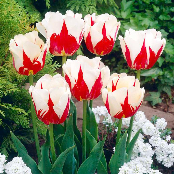 Tulip Bulbs - World Expression