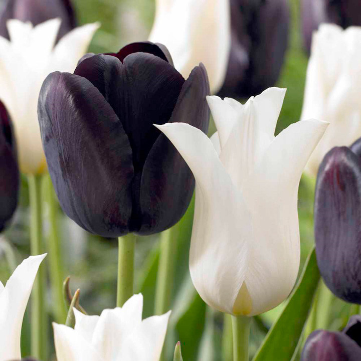 Tulip Bulbs Black And White Twin Pack Dobies