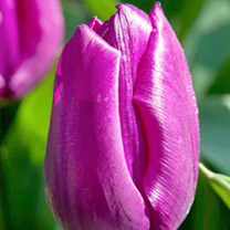 The beautiful purple flowers have a lilac flush on the outer edges and then as they mature reveal a dark interior with a golden eye. Early flowering.