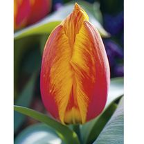 Tulip (Single) Bulbs - Flair