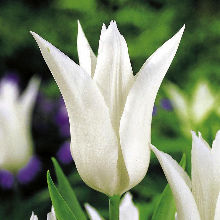 Tulip Bulbs - Tres Chic