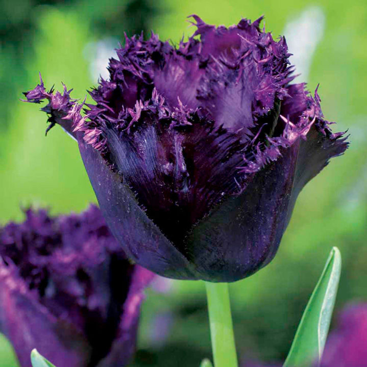Tulip (Fringed) Bulbs - Cuban Night