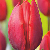 Tulip (Triumph) Bulbs - Colour Cardinal