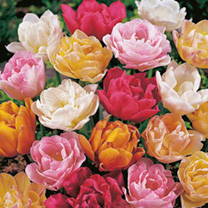 Double Tulips Large blooms up to 8cm across most resembling those of peonies. Amazing in the garden and fantastic as cut flowers in a vase as they las