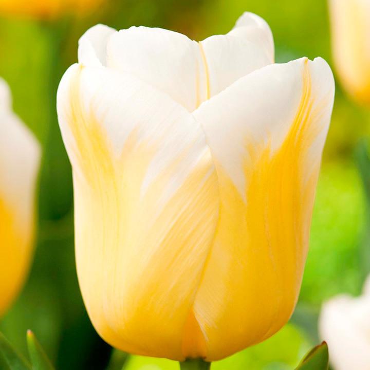 Tulip Bulbs - Calgary Flames