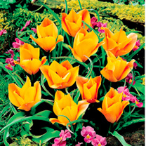 Tulip Botanical Bulbs - Bronze Charm