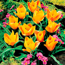 Shades of peach and apricot in the flowers of this lovely shorter tulip. Flowers late April-early May. Height 20-30cm. Bulb size 6/7cm. Mid flowering