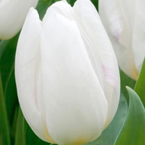Tulip (Early Single) Bulbs - White Prince