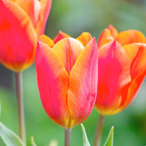 Sizzling orange Triumph tulip, with tight formed flower. Flowers April. Height 40-50cm. Bulb size 11/12cm. (Bulb sizes in centimetres refer to the cir