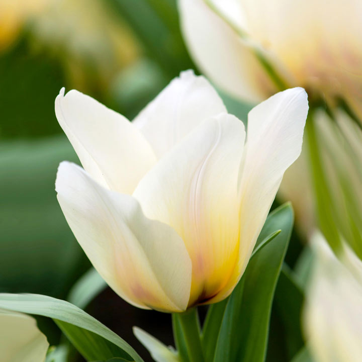 Tulip (Dwarf Greigii) Bulbs - Albion Star