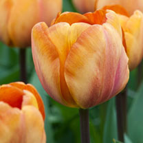 Tulip (Triumph) Bulbs - Brown Sugar