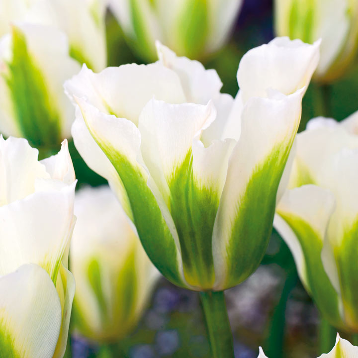 Tulip Bulbs - Spring Green