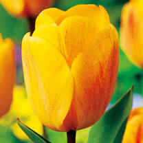 Tulip Bulbs - Darwin Hybrid Golden Apeldoorn
