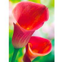 Zantedeschia Bulbs - Captain Red Romance