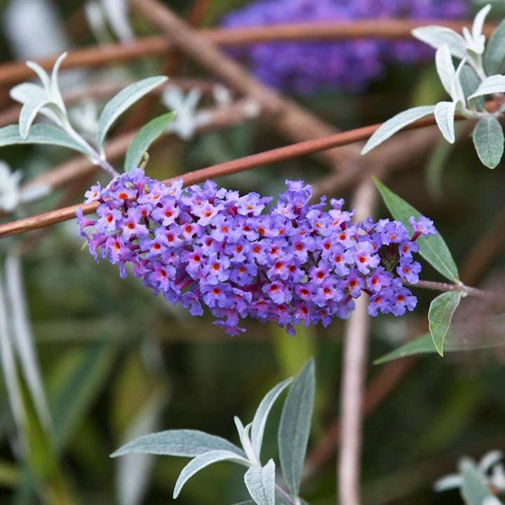 Buddleja Davidii Plant Nanho Blue Trees And Shrubs Flowers Garden Dobies
