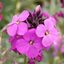Erysimum Plants - Bowles Mauve