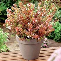 Image of Abelia Plant - Sunshine Daydream