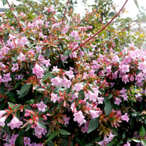 Abelia Planter - 'Edward Goucher'
