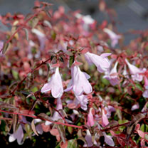 Image of Abelia Plant - Pinky Bells