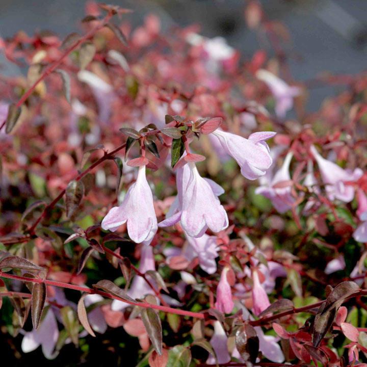 Abelia Plant - Pinky Bells® Noble®