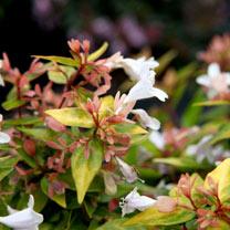 Abelia grandiflora Plants - 'Francis Mason'