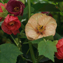 Abutilon Seeds - Bell Boy Mixed
