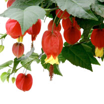 Image of Abutilon Plant - Big Bell