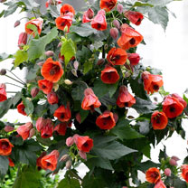 Image of Abutilon Plant - Patio Red