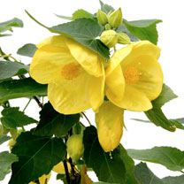 Image of Abutilon Plant - Julia