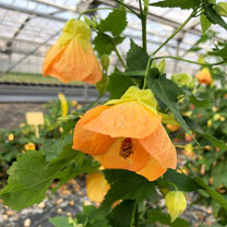 Image of Abutilon Plant - Patio Peach