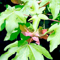 Acer Campestre (Field Maple) Plant - 2L Value Hedging Range
