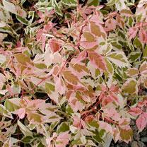 Acer negundo Plant - 'Flamingo'