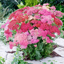 Achillea Plants - Summer Pastels Collection