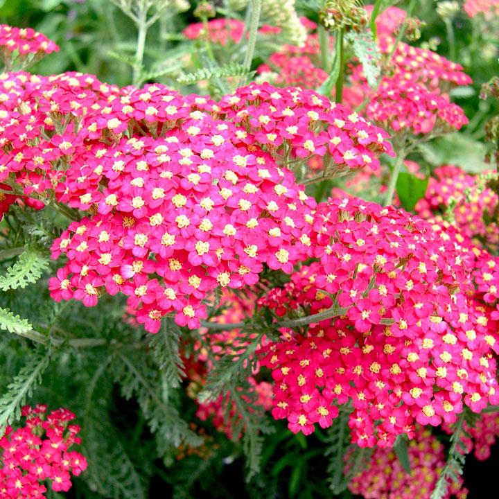 Achillea millefolium Plant - The Beacon