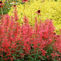 Image of Agastache Plant - Coral