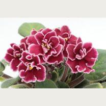 Saintpaulia Plant - Bob Serbin