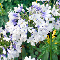Unique blue-and-white flowers can stay outside all year with no protection! A unique variety whose flowers have a deep blue base that shades to bright