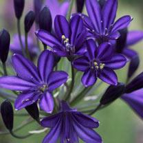 Agapanthus Plant - Royal Velvet