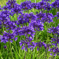 Image of Agapanthus Plant - Pretty Heidy