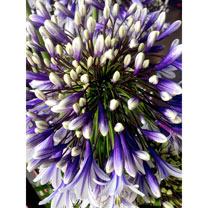Agapanthus Plants - Fireworks