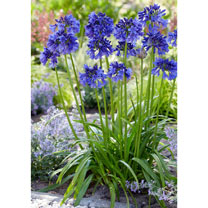 Agapanthus Plants - Blue Thunder