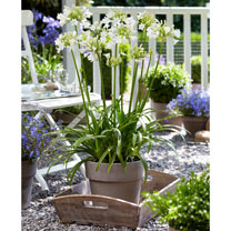 Agapanthus Plants - Ever White