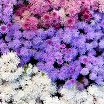 Image of Ageratum Plants - F1 Haze Mix