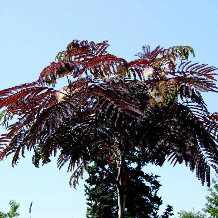 Albizia julibr. Plant - 'Summer Chocolate'®