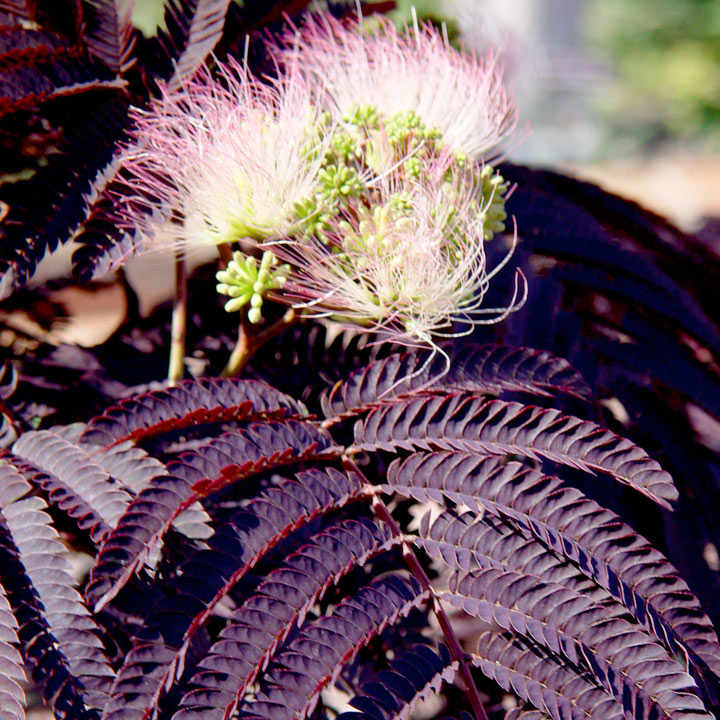Albizia julibr. Plant - 'Summer Chocolate'®