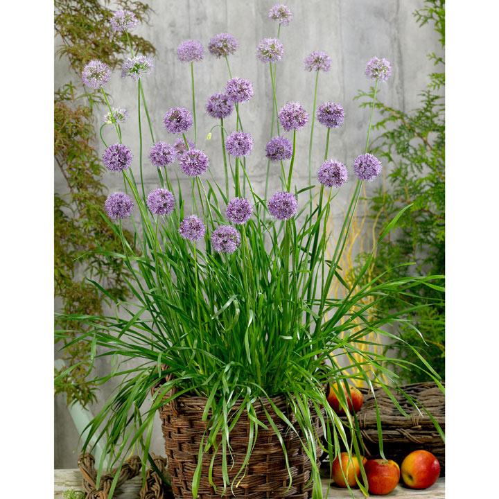 Herb Plant - Allium Quattro
