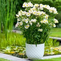 Alstroemeria Plant - Summer Snow