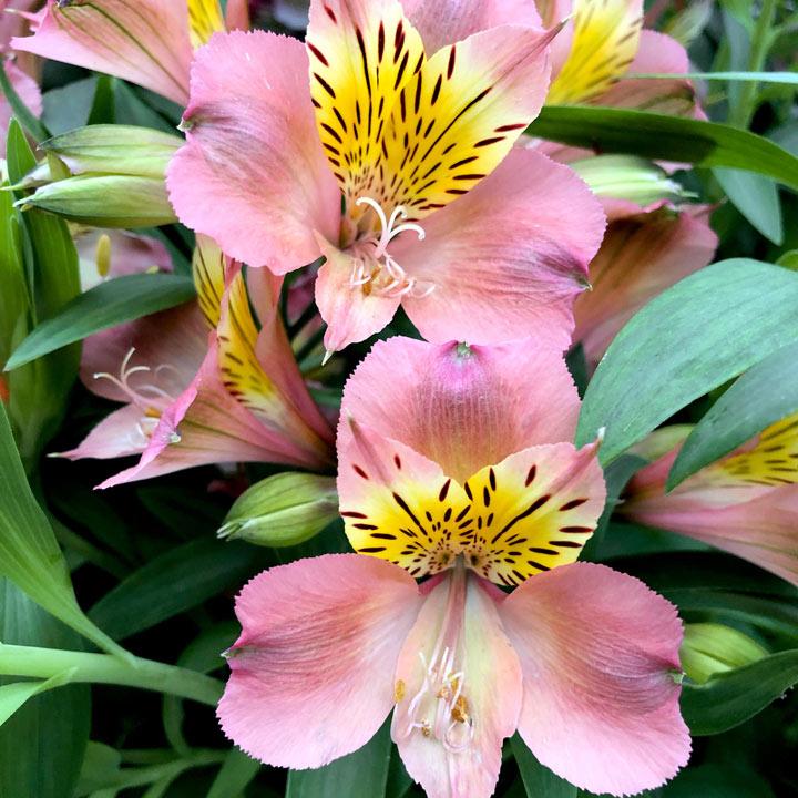 Alstroemeria Plant - Summer Break