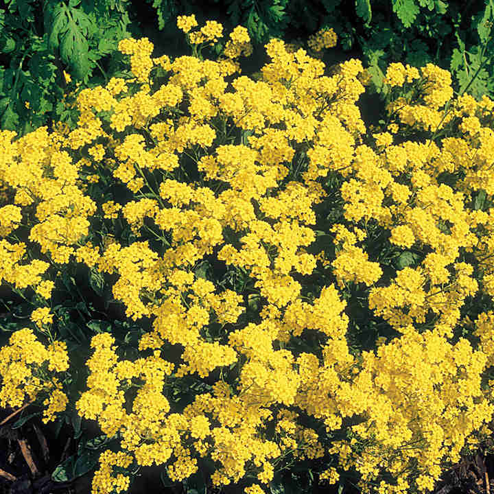 Alyssum plants golden queen dobies alyssum plants golden queen mightylinksfo